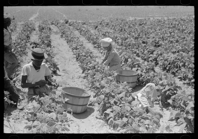 Despite Jim Crow, black and white field workers' lives were intertwined, yet their struggle was seen as separate. Russell Lee, photographer. Negro and white agricultural day laborers picking string beans in field near Muskogee, Oklahoma. Muskogee Oklahoma, 1939. June. Photograph. Retrieved from the Library of Congress, https://www.loc.gov/item/fsa1997026439/PP/. (Accessed October 29, 2017.)