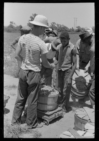 White and Black field workers, picking green beans. These people are working side by side, despite what much of the publicized record led people to believe. Lee, Russell, photographer. Receiving check for string beans picked at scales in field near Muskogee, Oklahoma. Muskogee Oklahoma, 1939. June. Photograph. Retrieved from the Library of Congress, https://www.loc.gov/item/fsa1997026442/PP/. (Accessed October 29, 2017.)